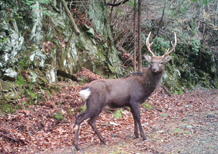 Japanese deer confirmed in Niihama (Shikoku) forests in 2016